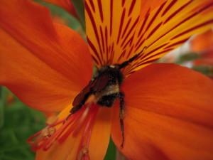 Bumblebee_alstroemeria_pollination