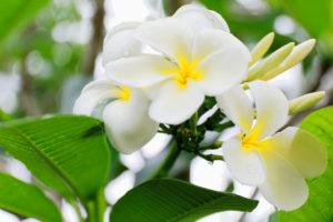 Tiaré flowers-Tahitian Gardenia-Gardenia Taitensis showing its white color among the green leaves of the plant.s foliage. Lonnoc Beach-Espiritu Santo Island-Vanuatu.
