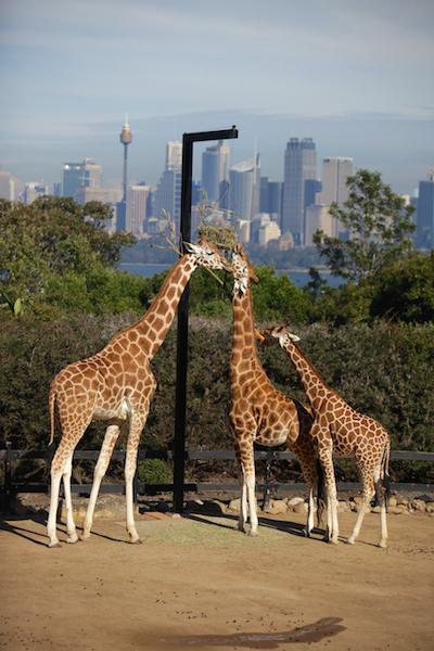 runawayGiraffes