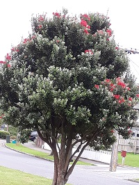 Pohutukawa Tree - also known as the NZ Christmas Tree
